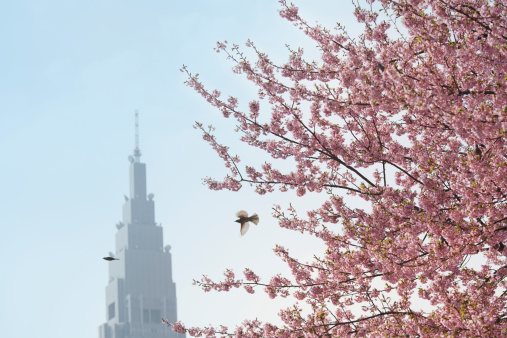 Cherry Blossom「Tokyo, Japan, flowers blossoming on Cherry tree」:スマホ壁紙(3)