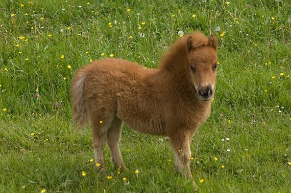 Horse「Shetland Pony Foal」:写真・画像(15)[壁紙.com]