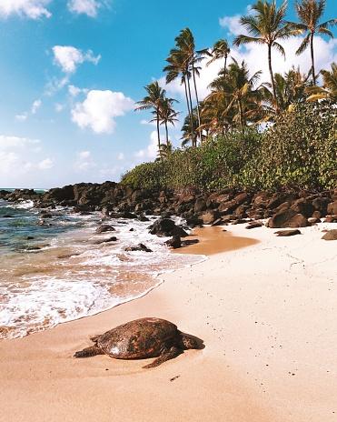 オアフ島「Turtle on the beach, Honolulu, Oahu, Hawaii, America, USA」:スマホ壁紙(2)