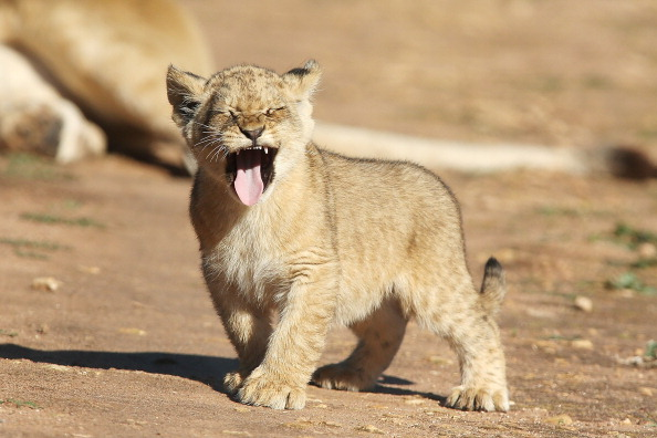 Three Lions「Lion Cubs Debut At Monarto Zoo」:写真・画像(10)[壁紙.com]