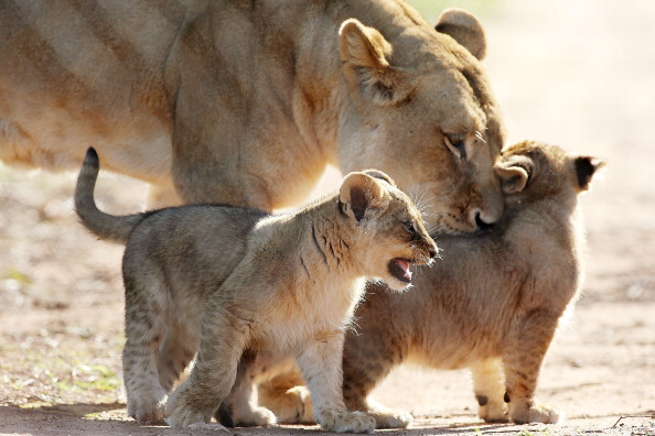 Three Lions「Lion Cubs Debut At Monarto Zoo」:写真・画像(13)[壁紙.com]