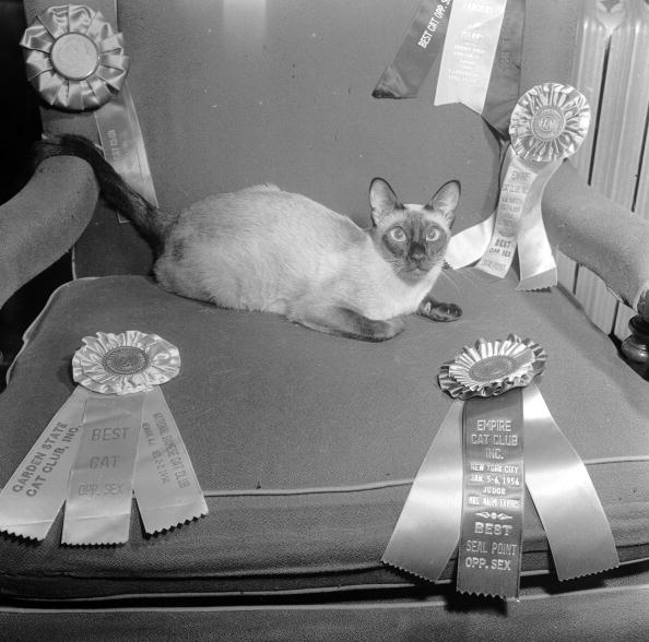Purebred Cat「Champion Cat」:写真・画像(10)[壁紙.com]