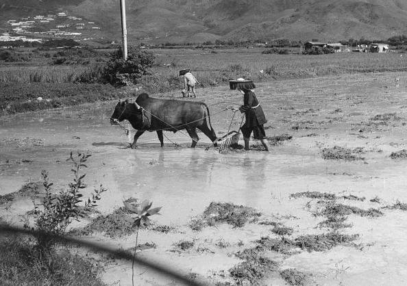 Agriculture「Paddy Field」:写真・画像(5)[壁紙.com]