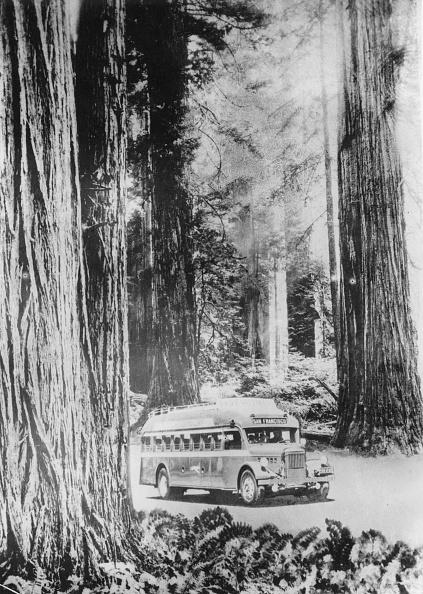 Sequoia Tree「Giant Sequoias」:写真・画像(10)[壁紙.com]