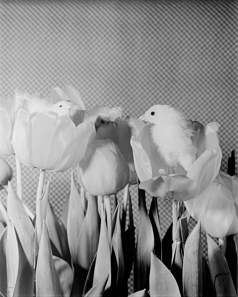 春「Chicks In Tulips」:写真・画像(2)[壁紙.com]