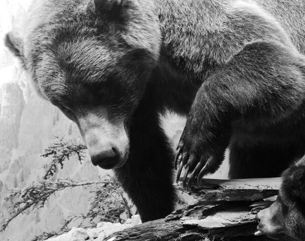 Brown Bear「Grizzly Bear」:写真・画像(8)[壁紙.com]