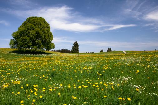 たんぽぽ「バイエルン春の草地」:スマホ壁紙(6)