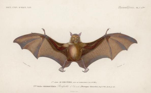 動物「Pteropus Edwardsii」:写真・画像(8)[壁紙.com]