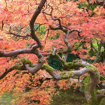 Japanese Maple「Autumn maple leaves in fall color, Japanese Garden, Seattle」:スマホ壁紙(6)
