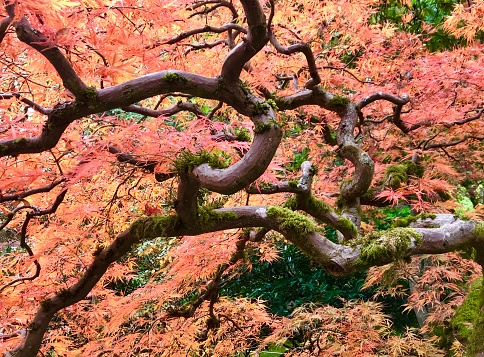 Japanese Maple「Autumn maple leaves in fall color, Japanese Garden, Seattle」:スマホ壁紙(17)