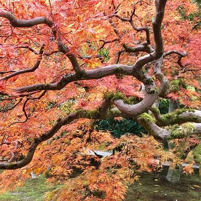 Japanese Maple「Autumn maple leaves in fall color, Japanese Garden, Seattle」:スマホ壁紙(5)