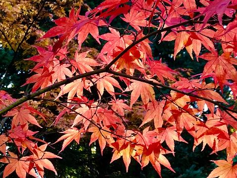 Japanese Maple「Autumn maple leaves in fall color, Japanese Garden, Seattle」:スマホ壁紙(8)