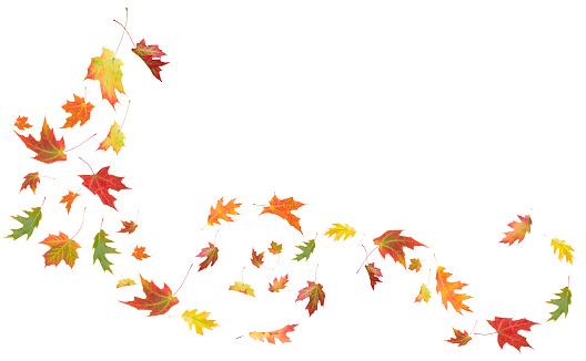 紅葉「Autumn Maple とオークの葉に吹く風」:スマホ壁紙(12)