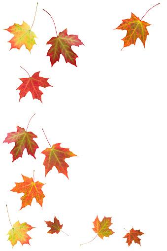 紅葉「Autumn Maple リーブズ(XXL」:スマホ壁紙(14)