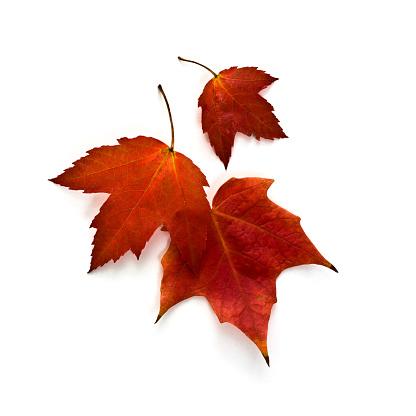 かえでの葉「秋のカエデの葉」:スマホ壁紙(3)