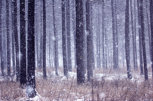松林「Greater Khingan Range winter pine forest,China」:スマホ壁紙(2)