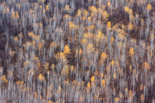 Heilongjiang Province「Greater Khingan Range winter birch forest,China」:スマホ壁紙(9)
