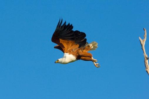 African Fish Eagle「African fish-eagle flying」:スマホ壁紙(16)