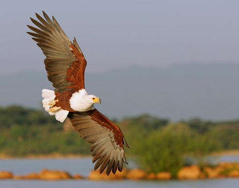 Lake Baringo「African Fish Eagle in Flight」:スマホ壁紙(1)