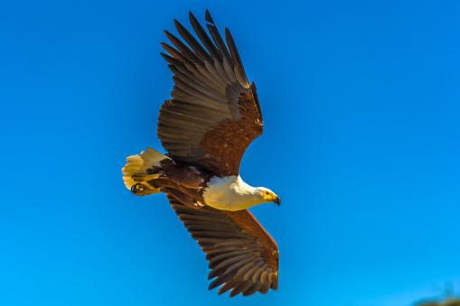 African Fish Eagle「African Fish Eagle in a fishing flight over Lake Baringo.」:スマホ壁紙(19)