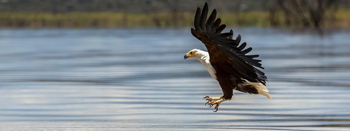 African Fish Eagle「African Fish Eagle in a fishing flight over Lake Baringo.」:スマホ壁紙(9)
