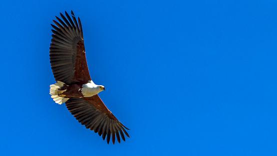 African Fish Eagle「African Fish Eagle in a fishing flight over Lake Baringo.」:スマホ壁紙(18)