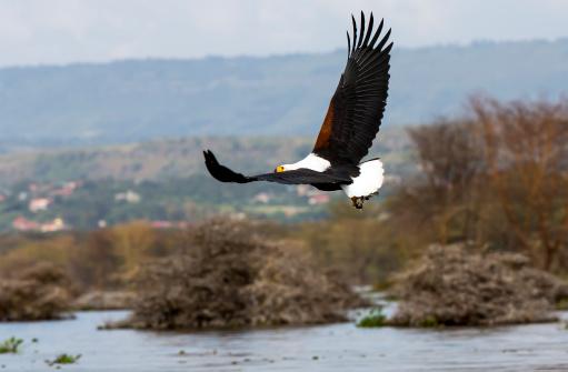 African Fish Eagle「African Fish Eagle - preying」:スマホ壁紙(9)