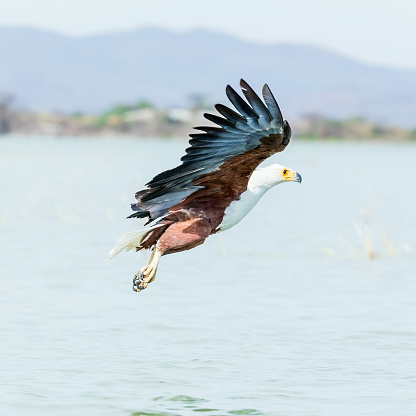 African Fish Eagle「African Fish Eagle - preying」:スマホ壁紙(13)