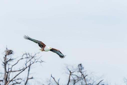 African Fish Eagle「African Fish Eagle - preying」:スマホ壁紙(14)