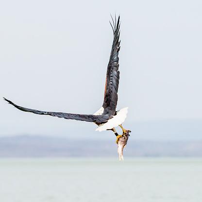 African Fish Eagle「African Fish Eagle - preying」:スマホ壁紙(18)
