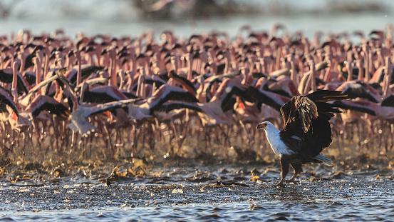 Lake Bogoria National Park「African Fish Eagle &m Lesser Flamingos,」:スマホ壁紙(5)