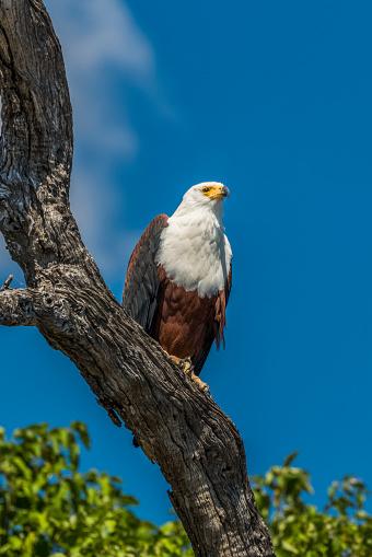 African Fish Eagle「African fish eagle (Haliaeetus vocifer) perched on dead branch」:スマホ壁紙(14)