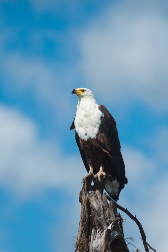 African Fish Eagle「African Fish Eagle (Haliaeetus vocifer) perched on tree stump, Liwonde National Park; Malawi」:スマホ壁紙(5)
