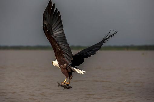 Lake Baringo「African Fish Eagle」:スマホ壁紙(18)