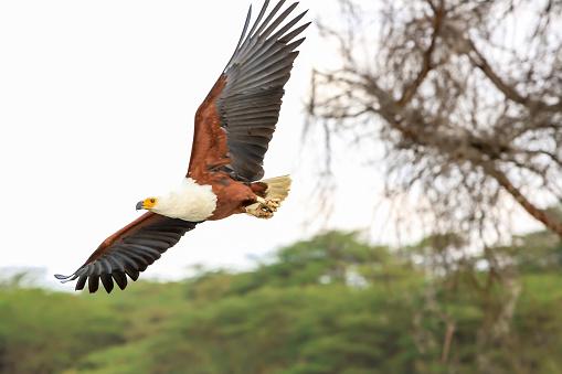 African Fish Eagle「African Fish Eagle」:スマホ壁紙(8)