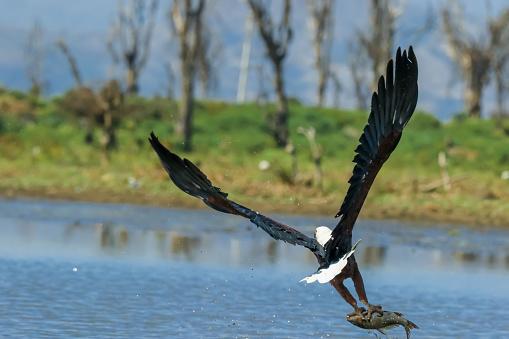 African Fish Eagle「African Fish Eagle」:スマホ壁紙(11)