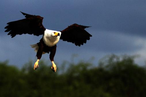 Lake Bogoria National Park「African Fish Eagle」:スマホ壁紙(8)