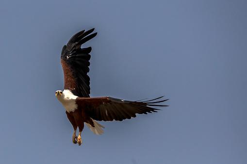 Lake Baringo「African Fish Eagle」:スマホ壁紙(14)