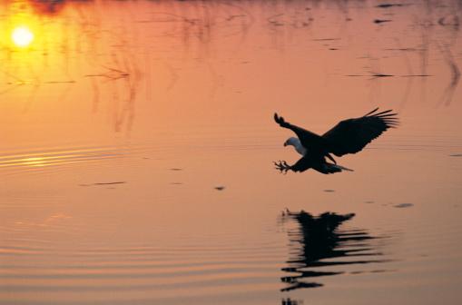 African Fish Eagle「African Fish Eagle」:スマホ壁紙(17)