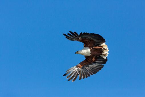 African Fish Eagle「African Fish Eagle」:スマホ壁紙(15)