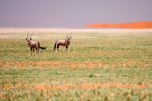 Gemsbok「Gemsbok oryx , Namib desert , Namibia」:スマホ壁紙(8)