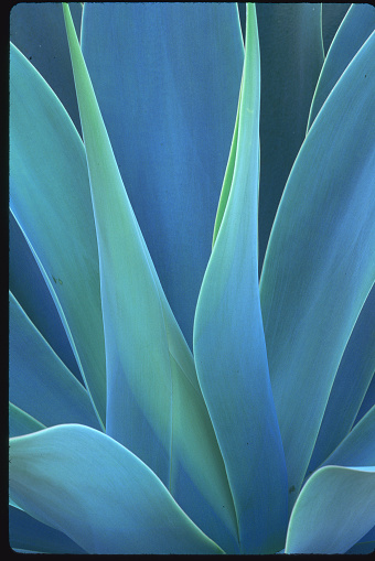Haleakala National Park「Leaves of an Agave」:スマホ壁紙(13)