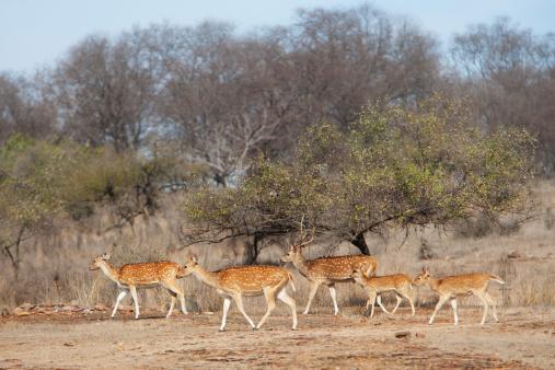 Ranthambore National Park「Herd of spotted deer or chital in tiger reserve」:スマホ壁紙(17)