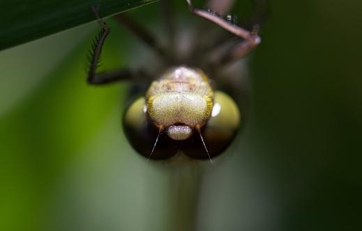 とんぼ「Close-up detail of four-spotted skimmer dragonfly」:スマホ壁紙(18)