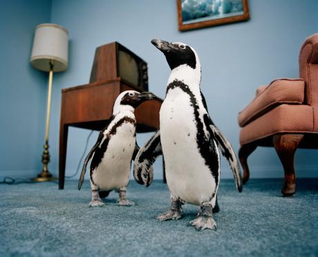 Tame「Jackass penguins in living room, ground view」:スマホ壁紙(11)