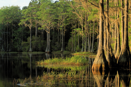 1990-1999「Cypress trees in Lake Bradford Region , Tallahassee , Florida」:スマホ壁紙(7)