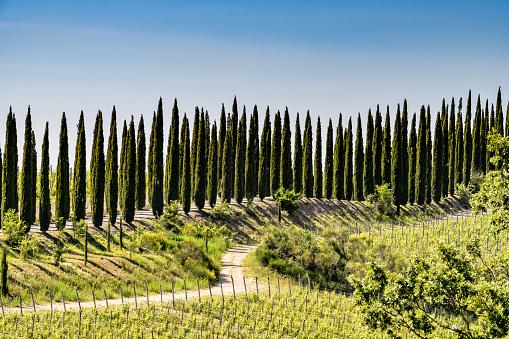Boulevard「Cypress trees in Tuscany. Location: Chianti Region, Tuscany, Italy, Europe」:スマホ壁紙(16)