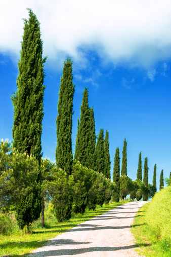 Italian Cypress「Cypress trees in Tuscany」:スマホ壁紙(1)