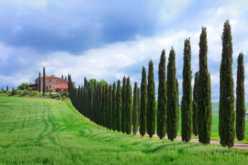 Italian Cypress「Cypress tree lined road in Tuscany」:スマホ壁紙(19)