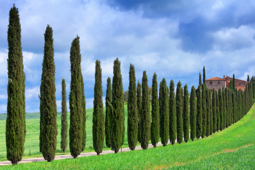 Italian Cypress「Cypress tree lined road in Tuscany」:スマホ壁紙(12)